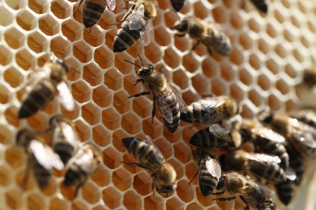 Пчела на сотах с кусочками меда нектара в клетках, концепция пчеловодства для начинающих