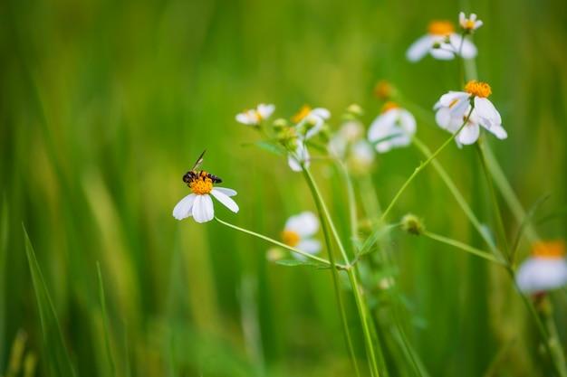 흰 꽃에 있는 꿀벌은 녹색 흐릿한 배경에서 꽃가루를 수집하는 동안 매크로를 닫습니다.