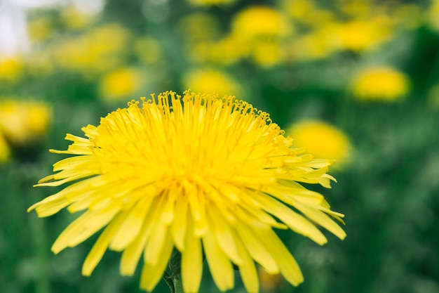 Пчела на желтом цветке одуванчика