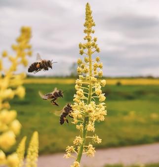 Пчелиный путь на желтом цветке. медоносная пчела собирает пыльцу