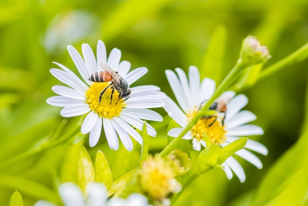 A bee perched on the beautiful flower daisy and natural green leaf.