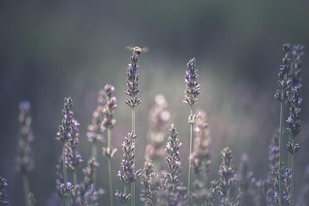 라벤더에 그친 꿀벌