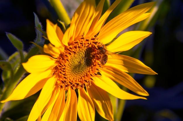 ミツバチは咲くヒマワリのクローズアップに花粉をまきます。農学、農業および植物学。