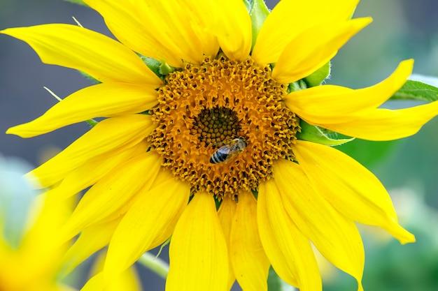 ミツバチは咲くヒマワリのクローズアップを花粉症にします。農学、農業および植物学。
