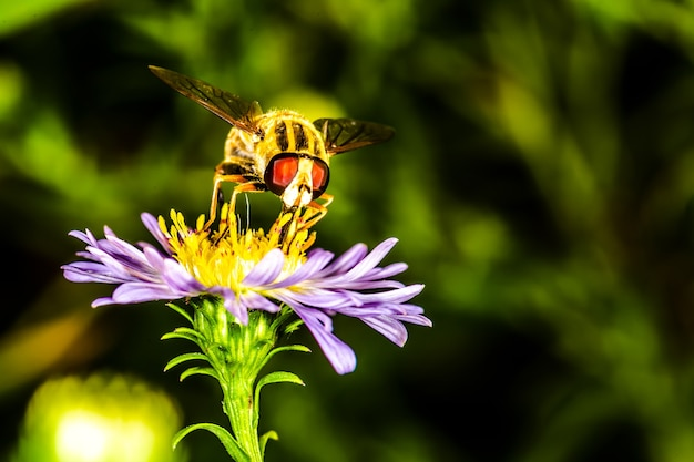 Bee pollinates flower erigeron in the botanical garden, background macro photo
