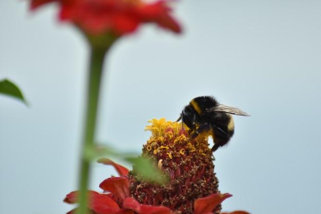 ミツバチは庭の花に花粉をまきます