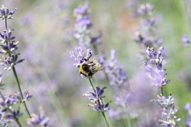 Bee pollinates lavender flowers in field decay of plants by insects