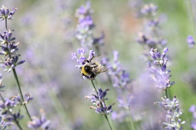 꿀벌은 곤충에 의한 식물의 현장 부패에서 라벤더 꽃을 수분시킵니다.