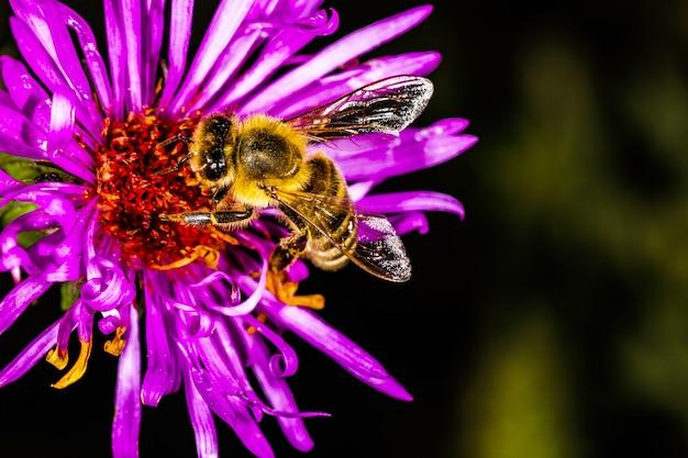 Bee pollinates pyrethrum in the garden, background macro photo