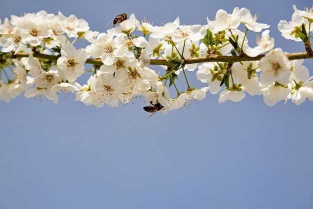 Bee pollinates white flowers of cherry on a flowering tree in spring