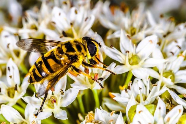 Bee pollinates white wildflowers, background macro photo