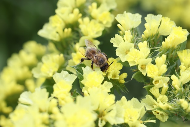Bee pollinates yellow statice flowers in field honey plants for bees concept