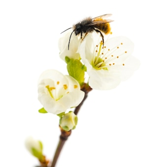 꿀벌 pollinating 꽃-apis mellifera, 흰색 절연