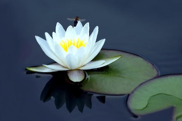 Пчела опыляет белый цветок лотоса на воде. ботаника и растительность