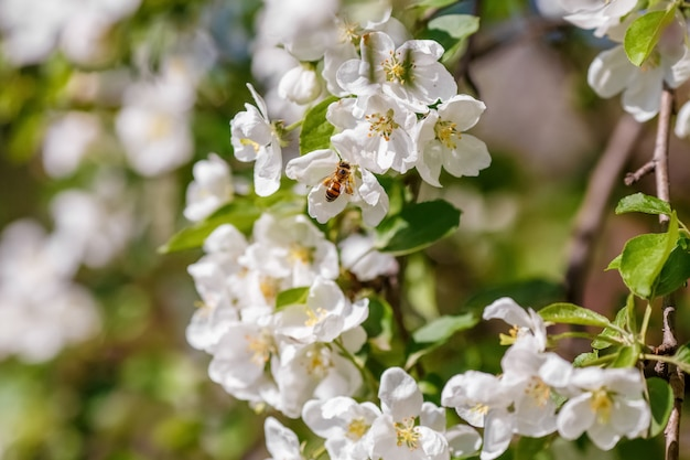 Bee pollinating branch of spring apple tree with white flowers