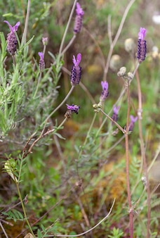 Bee pollinating lavender flowers that is a plant that is used to obtain a fragrance