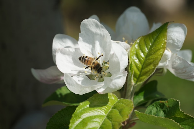 ぼやけた背景を持つ白い花に受粉する蜂