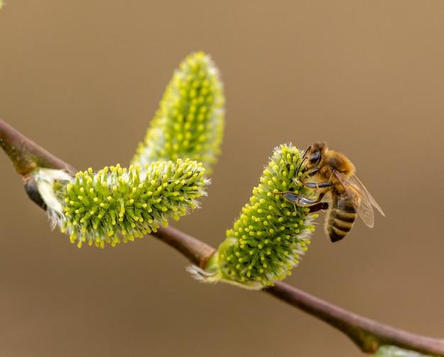 Пчела опыляет ивы
