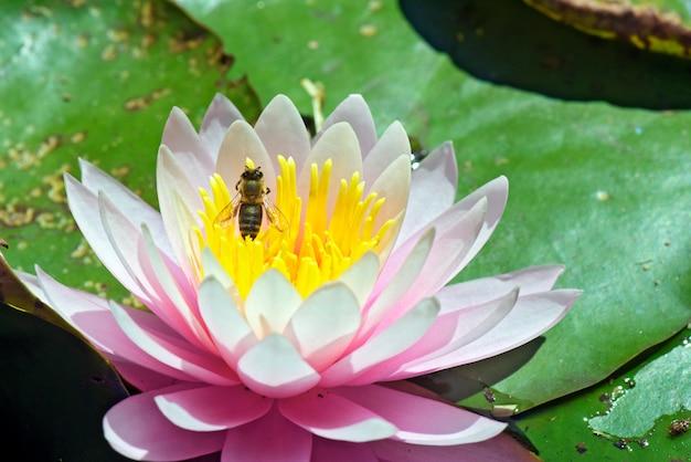 Пчела опыляет розовую водяную лилию