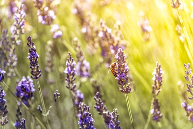 Bee pollinating while looking for nectar on purple flowers of lavender
