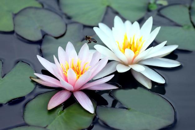 물에 흰색과 분홍색 연꽃을 수분하는 꿀벌