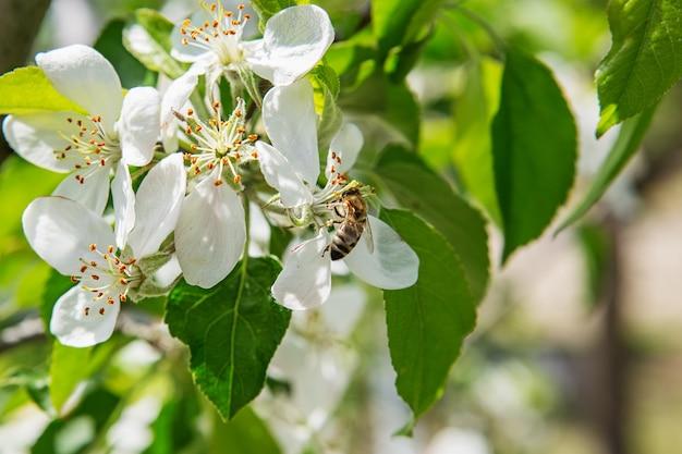 Пчела сидит на цветке куста цветущей яблони