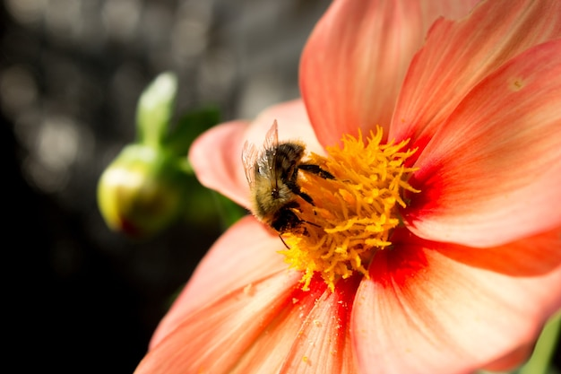 Bee sitting on a flower apiary honey collection photo of a bee