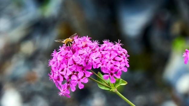 핑크 피는 꽃에 앉아 꿀벌입니다. 소치
