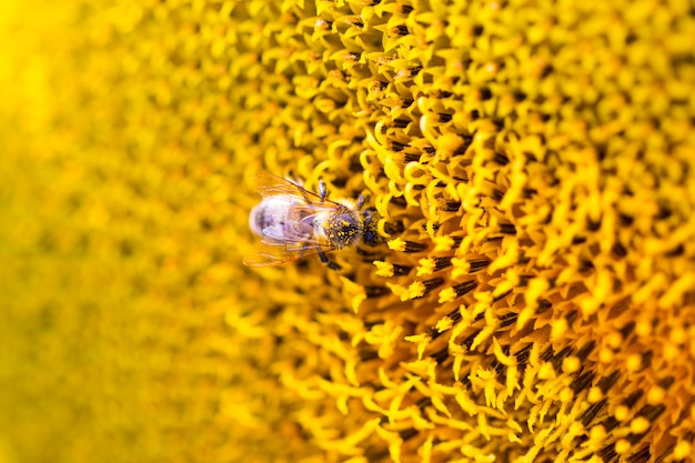 Bee on sunflower. flower of sunflower close-up, natural background Premium Photo