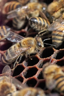 Bee in a swarm in honeycomb