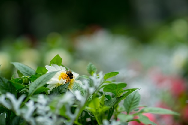 Bee on a white flower i the feald