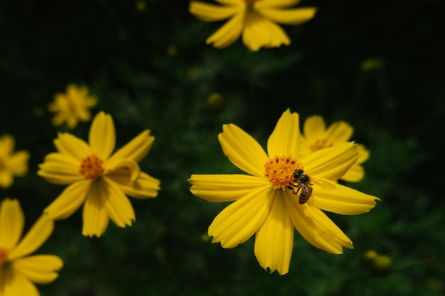 Bee and yellow cosmos flower