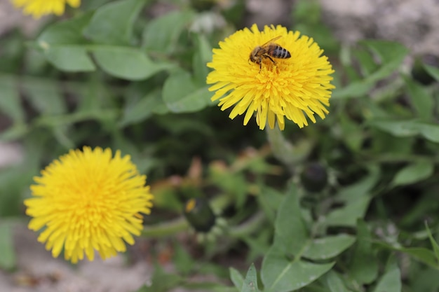 Bee on yellow dandelions on a sunny day