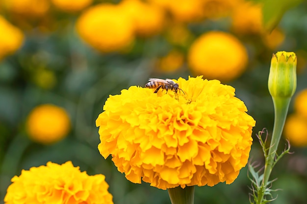 Bee on yellow marigold  flowers or tagetes erecta in garden.