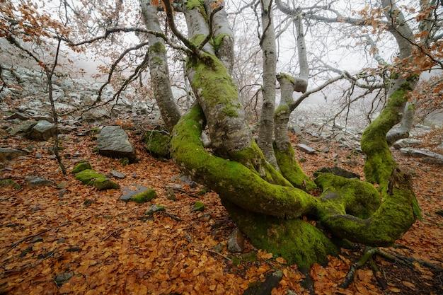 魔法のように枝、石、岩、木があるブナの風景。魅惑の森。スペイン。