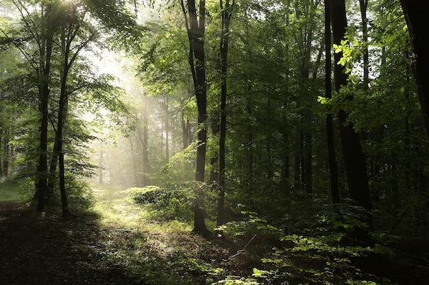 Буковые деревья в весеннем лесу после дождя на рассвете