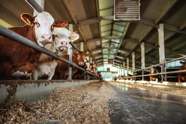 納屋の群れに立っている牛肉。彼らは食べてカメラを見ています。有機農場での通常の日。