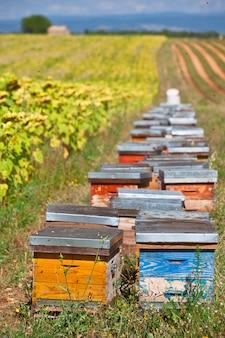 프로방스, 프랑스의 해바라기 밭에 벌통