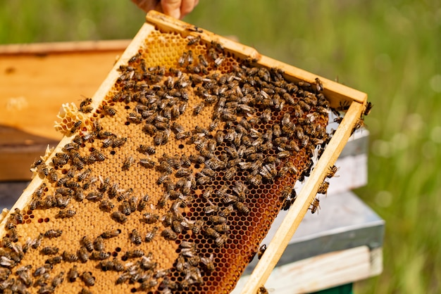 Beekeeper checking honeycomb frame with bees in his apiary.