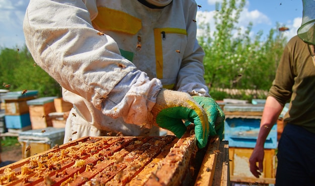 A beekeeper checks the hives