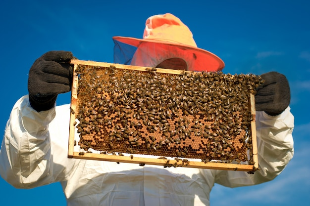 Beekeeper holding a honeycomb full of bees. apiarist inspecting honeycomb frame at apiary.
