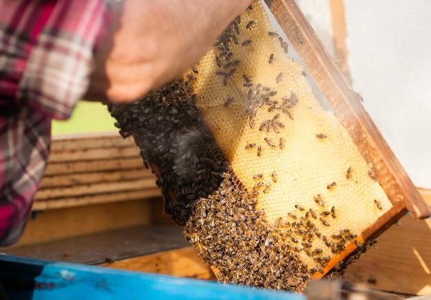 Пчеловод держит соты с пчелами