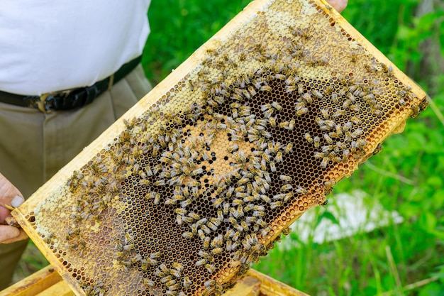 Beekeeper holds open frame with honeycombs filled with honey