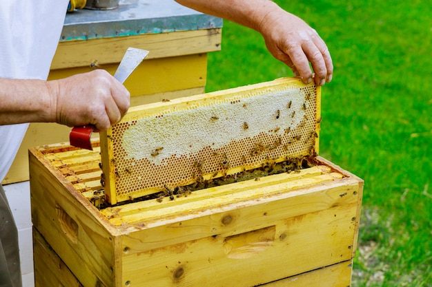 Beekeeper holds a open honeycombs with frame raw honey