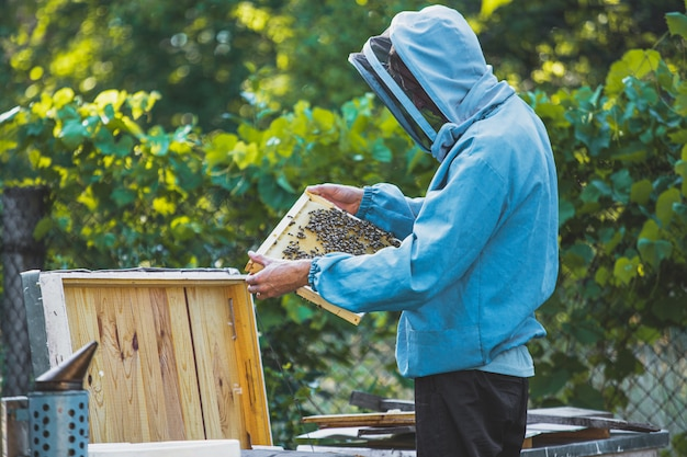 Beekeeper inspects wooden frame with queen cells on apiary. large apiary in the garden.