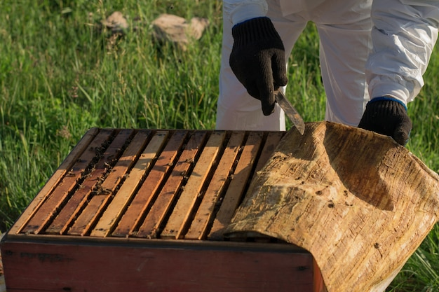 Beekeeper opens the hive, frames with honeycombs and fabric with propolis are visible