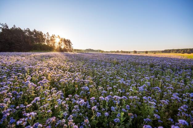 養蜂家のハゼリソウのプランテーション-心地よい香りの美しい紫色の花