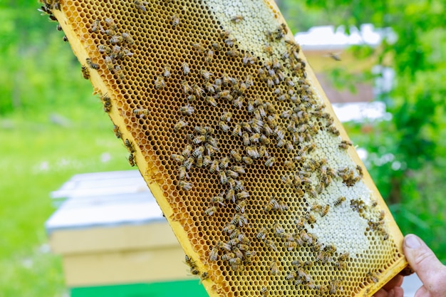 Beekeeper stands near the hives holding honeycomb in close up