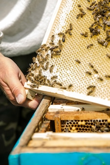 Beekeeper taking out frame with honeycomb out of a beehive with bare hands. bees on honeycombs. frames of a bee hive.