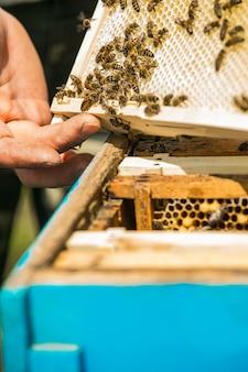 Пчеловод достает рамку с сотами из улья голыми руками. пчелы в сотах. рамки пчелиного улья.